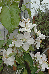 Gala Apple (Malus 'Gala') at Snavely's Garden Corner
