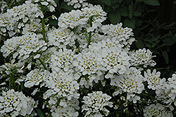 Purity Candytuft (Iberis sempervirens 'Purity') at Snavely's Garden Corner