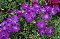 Axcent™ Violet With Eye Rock Cress (Aubrieta 'Axcent Violet With Eye') at Snavely's Garden Corner