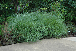 Little Kitten Dwarf Maiden Grass (Miscanthus sinensis 'Little Kitten') at Snavely's Garden Corner