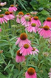 Kim's Knee High Coneflower (Echinacea 'Kim's Knee High') at Snavely's Garden Corner