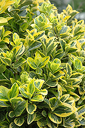 Gold Variegated Japanese Euonymus (Euonymus japonicus 'Aureomarginatus') at Snavely's Garden Corner