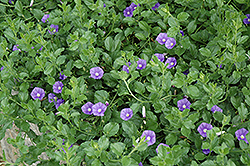 Miniature Morning Glory (Convolvulus sabatius) at Snavely's Garden Corner