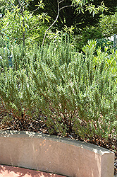 Spice Islands Rosemary (Rosmarinus officinalis 'Spice Islands') at Snavely's Garden Corner