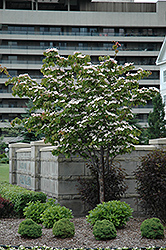 Flowering Dogwood (Cornus florida) at Snavely's Garden Corner