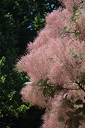 Grace Smokebush (Cotinus 'Grace') at Snavely's Garden Corner