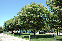 Village Green Zelkova (Zelkova serrata 'Village Green') at Snavely's Garden Corner