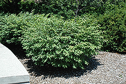 Fire Ball® Burning Bush (Euonymus alatus 'Select') at Snavely's Garden Corner