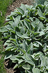 Giant Lamb's Ears (Stachys byzantina 'Big Ears') at Snavely's Garden Corner