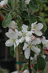 Granny Smith Apple (Malus 'Granny Smith') at Snavely's Garden Corner