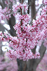 Eastern Redbud (Cercis canadensis) at Snavely's Garden Corner