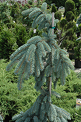 The Blues Colorado Blue Spruce (Picea pungens 'The Blues') at Snavely's Garden Corner