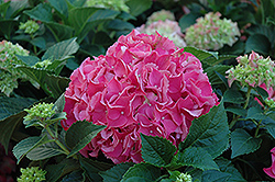 Forever And Ever Red Hydrangea (Hydrangea macrophylla 'Forever And Ever Red') at Snavely's Garden Corner