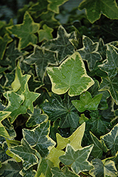 Gold Child Ivy (Hedera helix 'Gold Child') at Snavely's Garden Corner