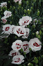 Scent First® Coconut Surprise Pinks (Dianthus 'WP05Yves') at Snavely's Garden Corner