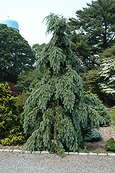 Graceful Grace Weeping Douglas Fir (Pseudotsuga menziesii 'Graceful Grace') at Snavely's Garden Corner