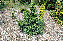 Split Rock Blue Hinoki Falsecypress (Chamaecyparis obtusa 'Split Rock') at Snavely's Garden Corner