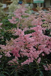 Drum And Bass Astilbe (Astilbe 'Drum And Bass') at Snavely's Garden Corner