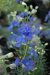 Blue Mirror Delphinium (Delphinium grandiflorum 'Blue Mirror') at Snavely's Garden Corner