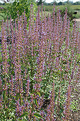 Purple Haze Hyssop (Agastache 'Purple Haze') at Snavely's Garden Corner