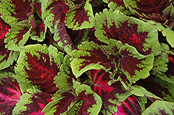 Kong Red Coleus (Solenostemon scutellarioides 'Kong Red') at Snavely's Garden Corner