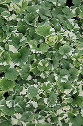 Variegated Ground Ivy (Glechoma hederacea 'Variegata') at Snavely's Garden Corner