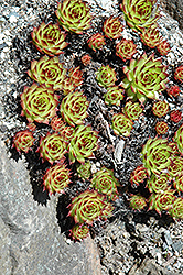 Sunset Hens And Chicks (Sempervivum 'Sunset') at Snavely's Garden Corner