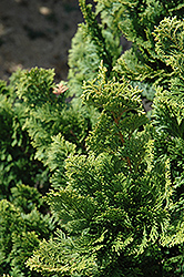 Well's Special Hinoki Falsecypress (Chamaecyparis obtusa 'Well's Special') at Snavely's Garden Corner