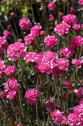 Red-leaved Sea Thrift (Armeria maritima 'Rubrifolia') at Snavely's Garden Corner
