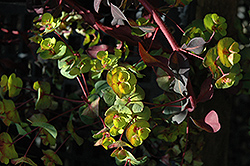 Ruby Glow Wood Spurge (Euphorbia amygdaloides 'Waleuphglo') at Snavely's Garden Corner