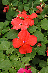 Super Elfin® Salmon Impatiens (Impatiens walleriana 'Super Elfin Salmon') at Snavely's Garden Corner
