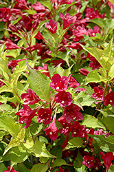 Ghost® Weigela (Weigela florida 'Carlton') at Snavely's Garden Corner