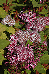 Double Play Big Bang® Spirea (Spiraea 'Tracy') at Snavely's Garden Corner