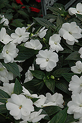 Super Sonic White New Guinea Impatiens (Impatiens hawkeri 'Super Sonic White') at Snavely's Garden Corner
