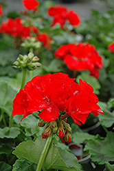 Rocky Mountain Red Geranium (Pelargonium 'Rocky Mountain Red') at Snavely's Garden Corner
