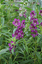 Archangel™ Deep Plum Angelonia (Angelonia angustifolia 'Archangel Deep Plum') at Snavely's Garden Corner