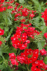 Obsession Red Verbena (Verbena 'Obsession Red') at Snavely's Garden Corner