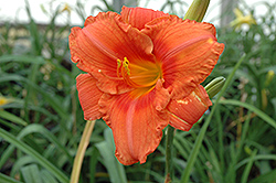 South Seas Daylily (Hemerocallis 'South Seas') at Snavely's Garden Corner