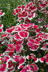 Floral Lace Mix Pinks (Dianthus 'Floral Lace Mix') at Snavely's Garden Corner