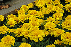 Janie Bright Yellow Marigold (Tagetes patula 'Janie Bright Yellow') at Snavely's Garden Corner