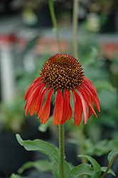 Firebird Coneflower (Echinacea 'Firebird') at Snavely's Garden Corner