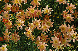 Sienna Sunset Tickseed (Coreopsis 'Sienna Sunset') at Snavely's Garden Corner
