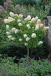 Limelight Hydrangea (tree form) (Hydrangea paniculata 'Limelight (tree form)') at Snavely's Garden Corner