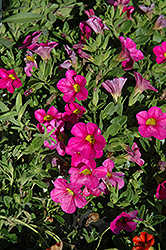 Superbells® Pink Calibrachoa (Calibrachoa 'Superbells Pink') at Snavely's Garden Corner