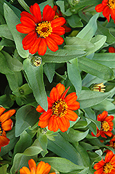 Profusion Fire Zinnia (Zinnia 'Profusion Fire') at Snavely's Garden Corner
