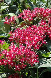Butterfly™ Pink Star Flower (Pentas lanceolata 'Butterfly Pink') at Snavely's Garden Corner