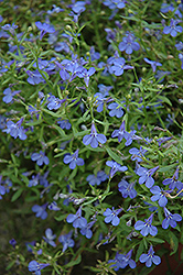 Techno® Heat Electric Blue Lobelia (Lobelia erinus 'Techno Heat Electric Blue') at Snavely's Garden Corner
