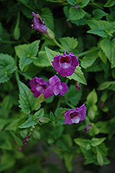 Summer Wave® Amethyst Torenia (Torenia 'Summer Wave Amethyst') at Snavely's Garden Corner