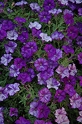 Shock Wave Denim Petunia (Petunia 'Shock Wave Denim') at Snavely's Garden Corner