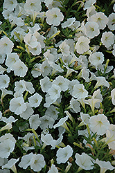 Shock Wave Coconut Petunia (Petunia 'Shock Wave Coconut') at Snavely's Garden Corner